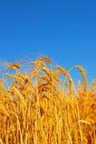 Reifer Weizen Lizenzfreies Stockbild