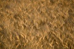 Reifer Weizen lizenzfreie stockbilder