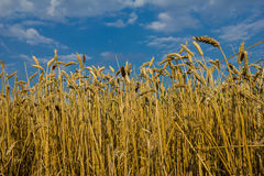 reifer Weizen Lizenzfreies Stockfoto