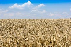 reifer Weizen Stockfotografie