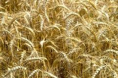 reifer Weizen Stockfoto