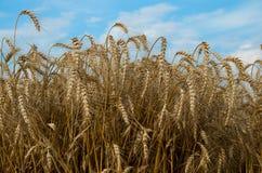 reifer Weizen Stockfotos
