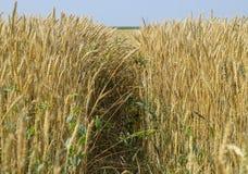 Reifer Weizen auf dem Feld Ährchen des Weizens Ernte des Kornes Lizenzfreie Stockfotografie