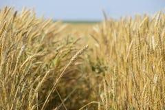 Reifer Weizen auf dem Feld Ährchen des Weizens Ernte des Kornes Lizenzfreies Stockfoto
