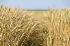 Reifer Weizen auf dem Feld Ährchen des Weizens Ernte des Kornes Lizenzfreie Stockfotos