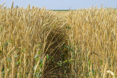 Reifer Weizen auf dem Feld Ährchen des Weizens Ernte des Kornes Lizenzfreies Stockbild