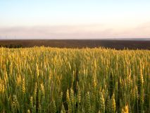 Reifer Weizen auf dem Feld stockfotografie