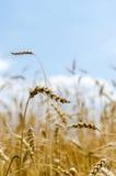 Reifer Weizen auf dem Gebiet Stockbild