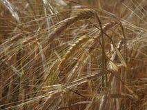 Reifer Weizen auf einem Feld Lizenzfreie Stockfotos