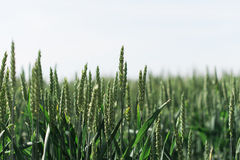 Reifer Weizen auf einem Landwirt-Gebiet Stockfoto