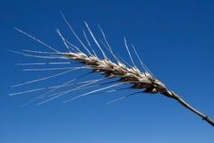 Reifer Weizen-Kopf Lizenzfreies Stockfoto