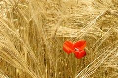 Reifer Weizen und rote Mohnblume Stockfotos