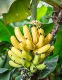 Reifes Bündel Bananen auf der Palme Lizenzfreie Stockfotos
