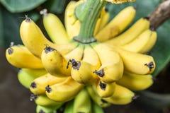 Reifes Bündel Bananen auf der Palme Stockfotografie