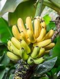 Reifes Bündel Bananen auf der Palme Lizenzfreie Stockfotografie