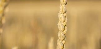 Reifes cornstalk Lizenzfreie Stockfotografie