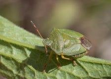 Reifes eurasisches grünes Schildwanze Palomena-prasina auf einem grünen Blatt, hohe Winkelsicht Lizenzfreie Stockfotos