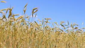 Reifes Getreidefeld im Sommerlicht stock video