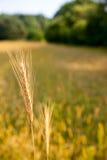 Reifes Getreideohr über Feldhintergrund Stockfoto