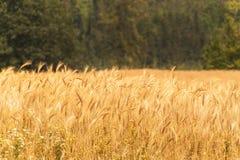 Reifes Korn auf dem Gebiet Ernten des Kornes auf einem Bauernhof Landschaft in der Tschechischen Republik Lizenzfreie Stockfotos