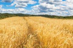Reifes Korn auf dem Gebiet Ernten des Kornes auf einem Bauernhof Landschaft in der Tschechischen Republik Stockfotos