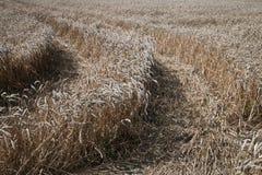 Reifes Korn der Ernte auf dem Bauernhoffeld Stockfoto