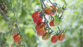 Reifes natürliches Tomatenwachsen Stockbild