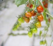 Reifes natürliches Tomatenwachsen Stockfotografie