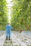 Reifes natürliches Tomatenwachsen Lizenzfreie Stockfotografie