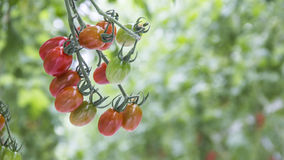 Reifes natürliches Tomatenwachsen Lizenzfreie Stockbilder