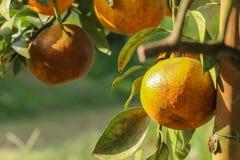 Reifes orange Hängen an einem Baum Lizenzfreies Stockbild