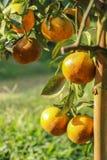 Reifes orange Hängen an einem Baum Stockfotografie
