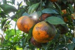 Reifes orange Hängen an einem Baum Lizenzfreie Stockfotografie