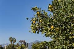 Reifes orange Hängen Kaliforniens am Baum mit San Gabriel Mo lizenzfreie stockfotos