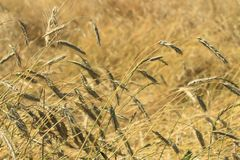 Reifes Rye auf einem Gebiet durchbrennend im Wind und vom Niederschlag verbogen Stockfotos