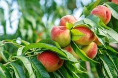 Reifes süßes Pfirsichfruchtwachsen auf einem Pfirsichbaumast Stockfotos