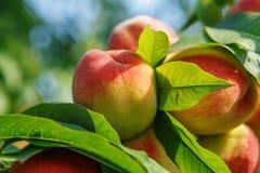 Reifes süßes Pfirsichfruchtwachsen auf einem Pfirsichbaumast Lizenzfreie Stockfotos