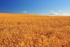 Reifes Weizen-Feld Stockbild