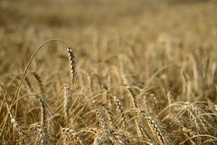 Reifes Weizenfeld, unscharfer Hintergrund Stockfotos