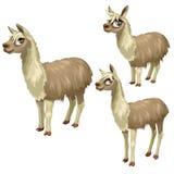 Reifungsstadien des Lamas, drei Wachstumsstufen Lizenzfreies Stockbild