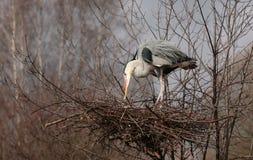 Reiger bij het nest Stock Fotografie