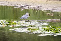 Reiger cathes vissen stock foto's