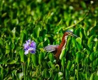 Reiger en Hyacint Royalty-vrije Stock Fotografie