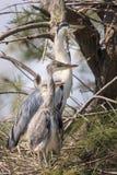 Reiger en kuiken in nest stock afbeelding