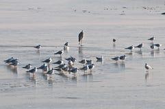 Reiger en zeemeeuw op het bevroren meer Stock Foto's