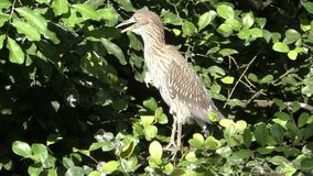 Reiger in Everglades stock footage