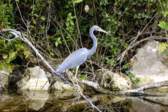 Reiger, Everglades, Florida royalty-vrije stock fotografie