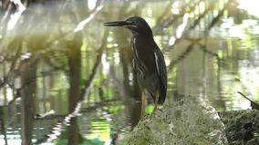 Reiger in Florida stock video