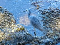 Reiger in Sydney Harbour Stock Foto
