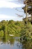 Reigers en alligators Stock Afbeelding